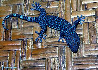 Геккон токи (лат.Gekko gecko)