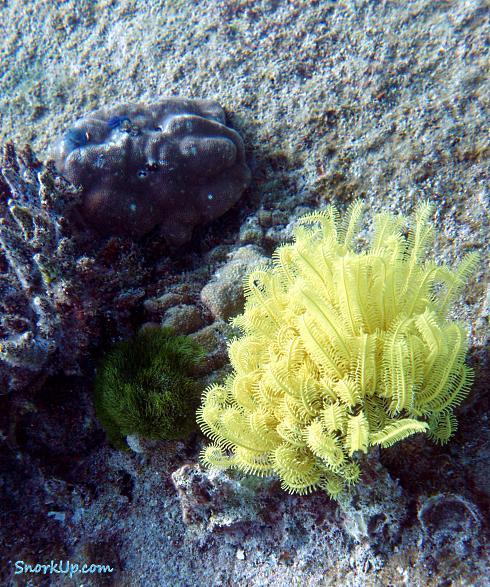 Морская лилия Yellow Feather Star