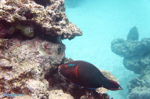 Тёмная рыба попугай - самец? (лат.Scarus niger, англ.Dusky parrotfish)