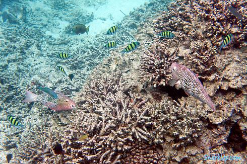 Рубиново-пепельный попугай - самка (лат.Scarus rubroviolaceus, англ.Ember parrotfish)