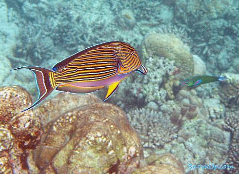 Хирург пижамный (лат.Acanthurus lineatus, анг.Lined surgeonfish)