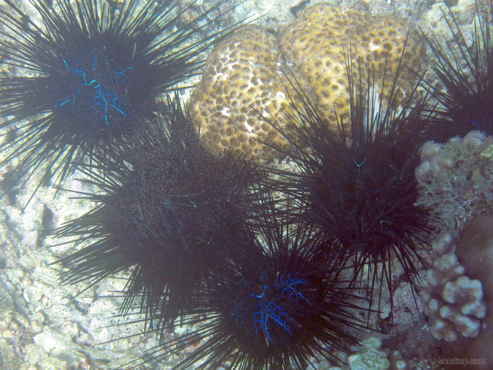 Длинноиглый еж-диадема, лат.Diadema savignyi, анг.Long spines sea urchin