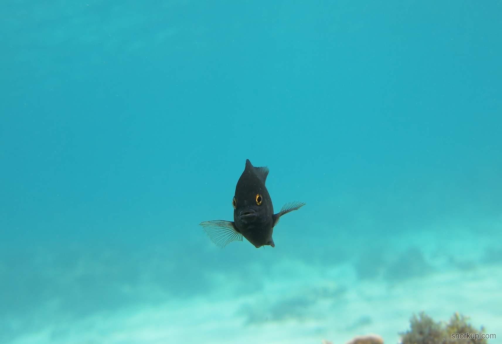 Микроспатодон желтохвостый или Помацентрус звездчатый, или Бриллиантовая девушка, лат.Microspathodon chrysurus, анг.Yellowtail damselfish