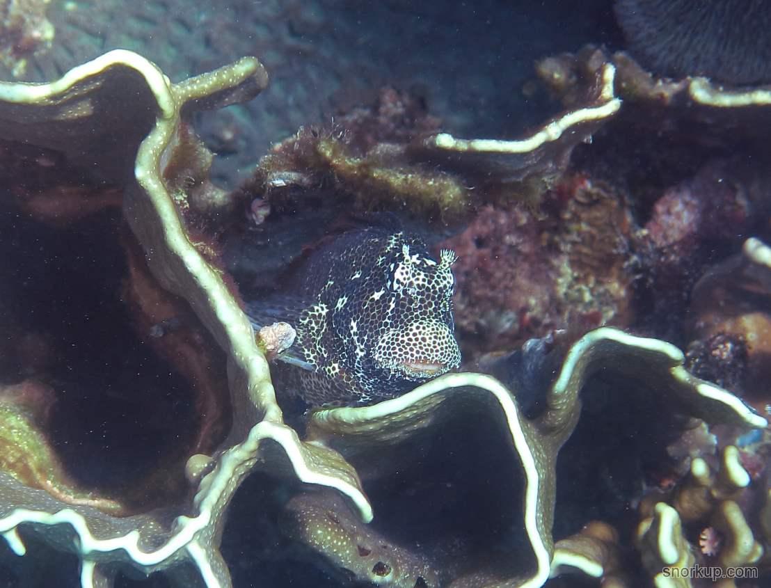 Короткая экзаллия, лат.Exallias brevis, анг. Leopard blenny