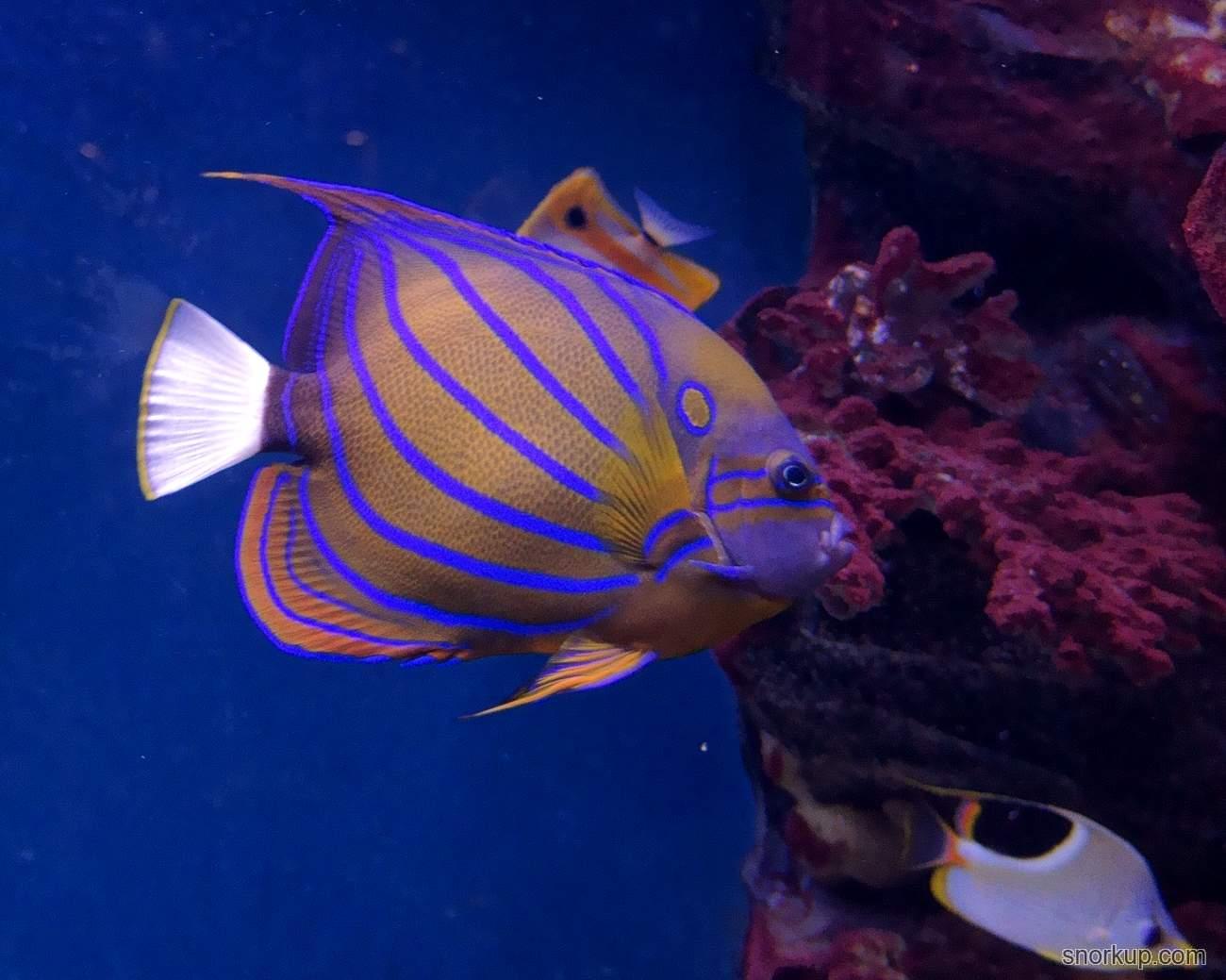 Ангел кольчатый - Pomacanthus annularis - Bluering angelfish
