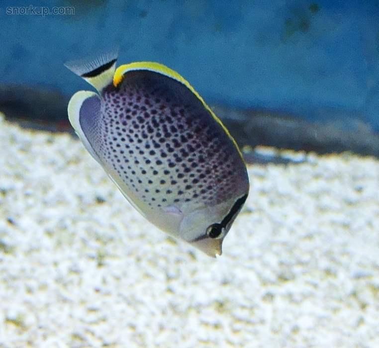 Капельная рыба-бабочка — Chaetodon guttatissimus —  Peppered butterflyfish