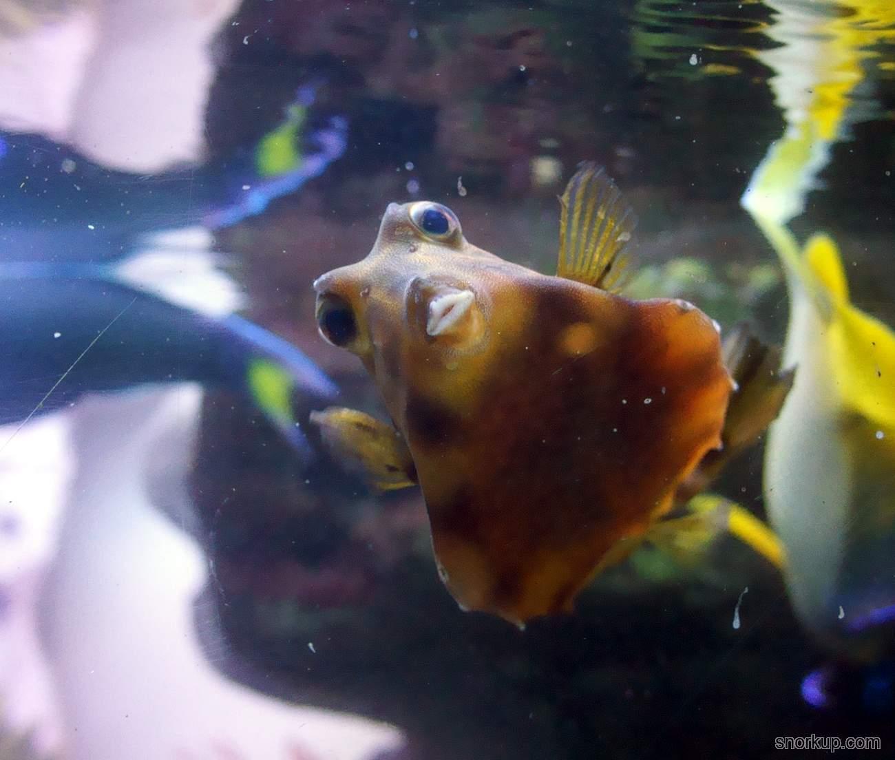 Горбатый кузовок - Tetrosomus gibbosus - Humpback turretfish, Thornback turretfish