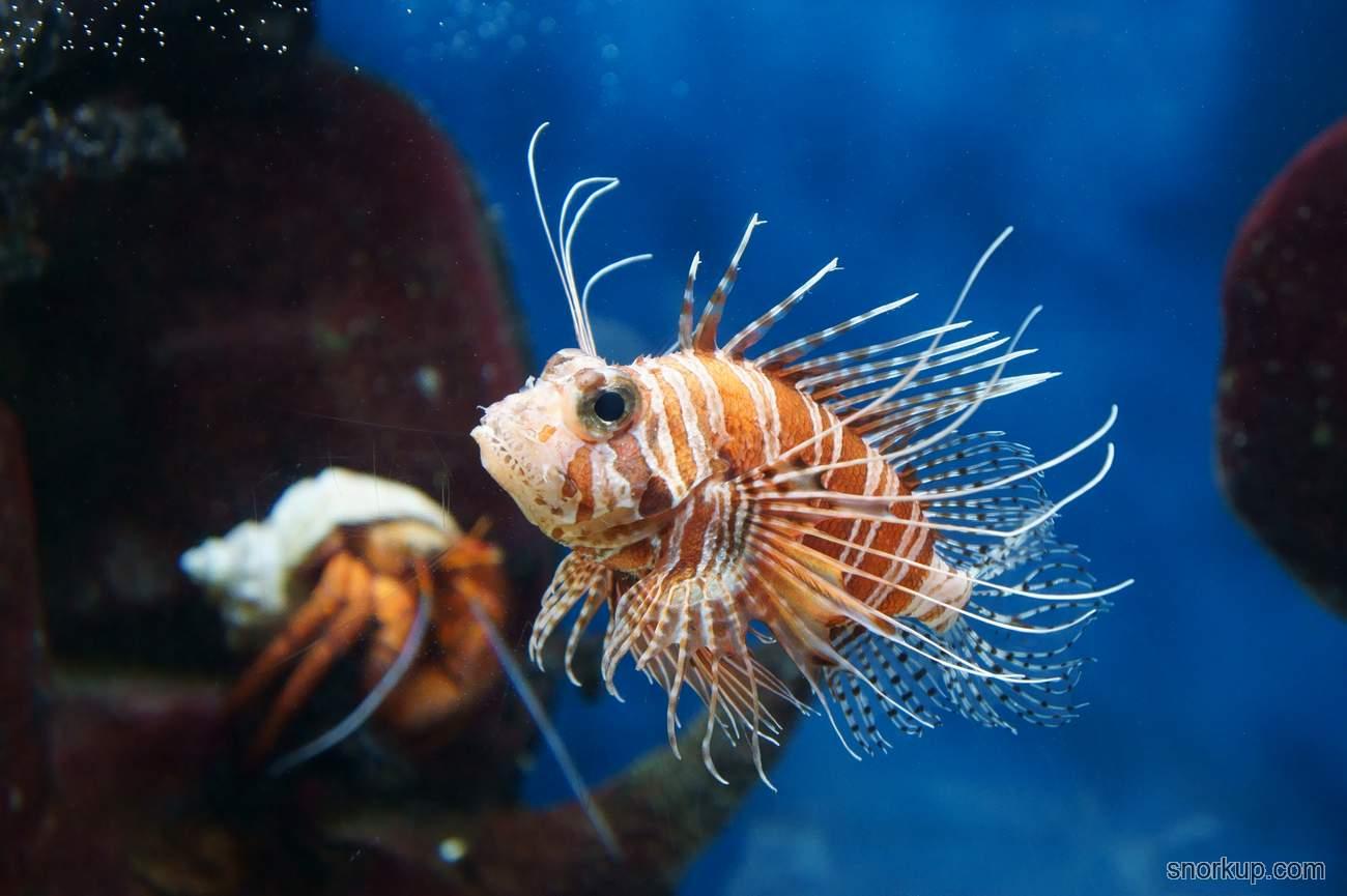 Крылатка африканская (Момбасская) -  Pterois mombasae - African Lionfish, Frillfin turkeyfish