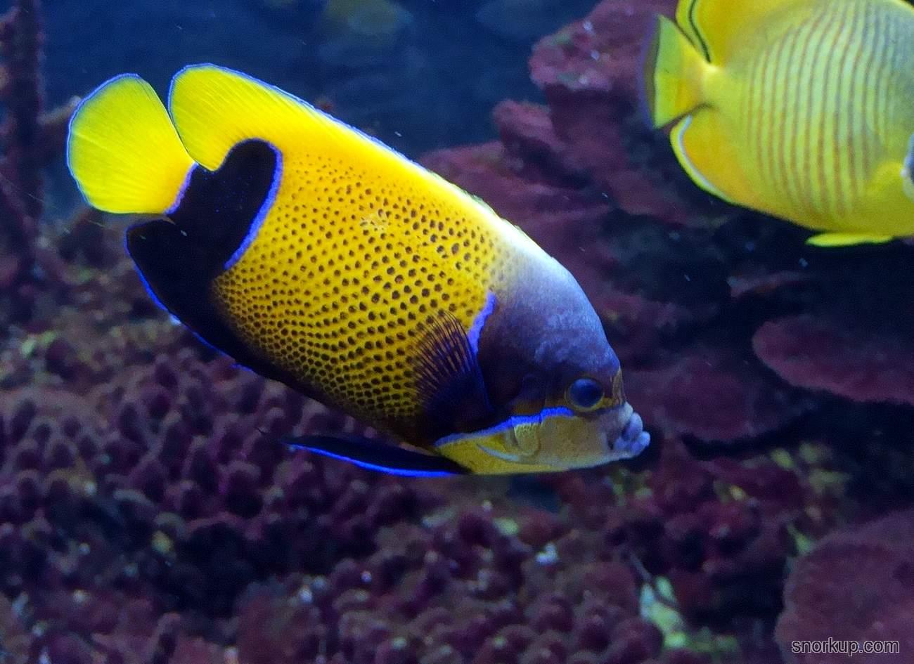 Ангел Наварры неоновый - Pomacanthus navarchus - Blue-girdled angelfish