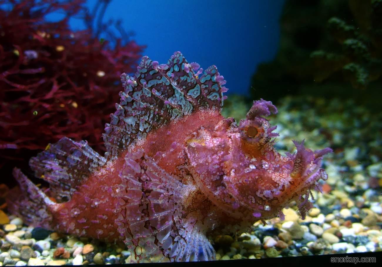 Худосочная скорпена - Rhinopias frondosa - Weedy scorpionfish
