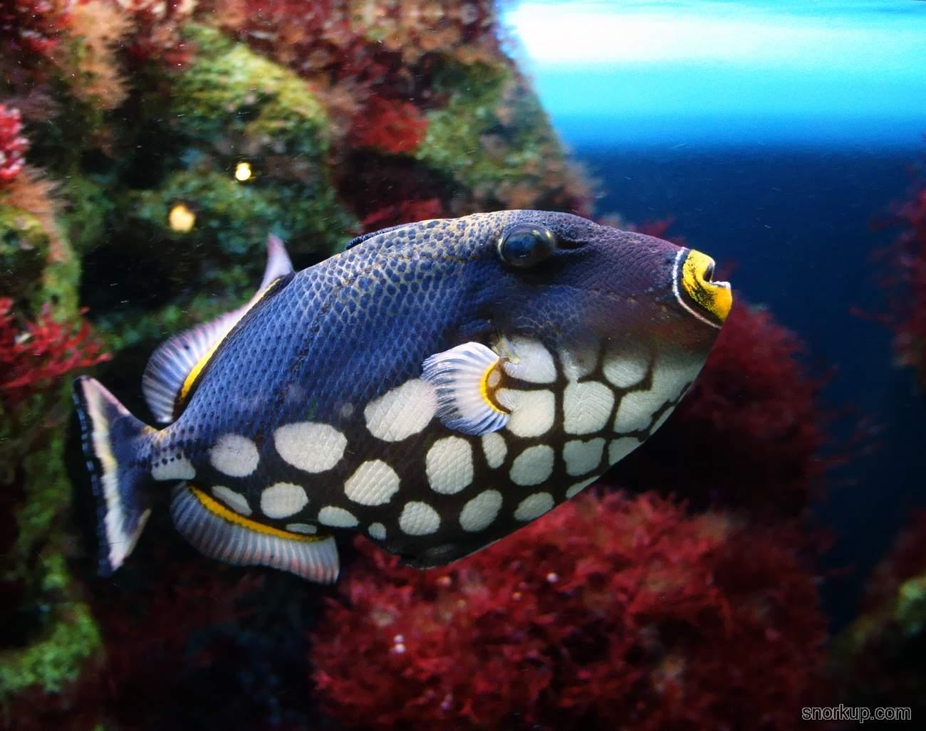 Спинорог крупнопятнистый (клоун) - Balistoides conspicillum - Clown triggerfish