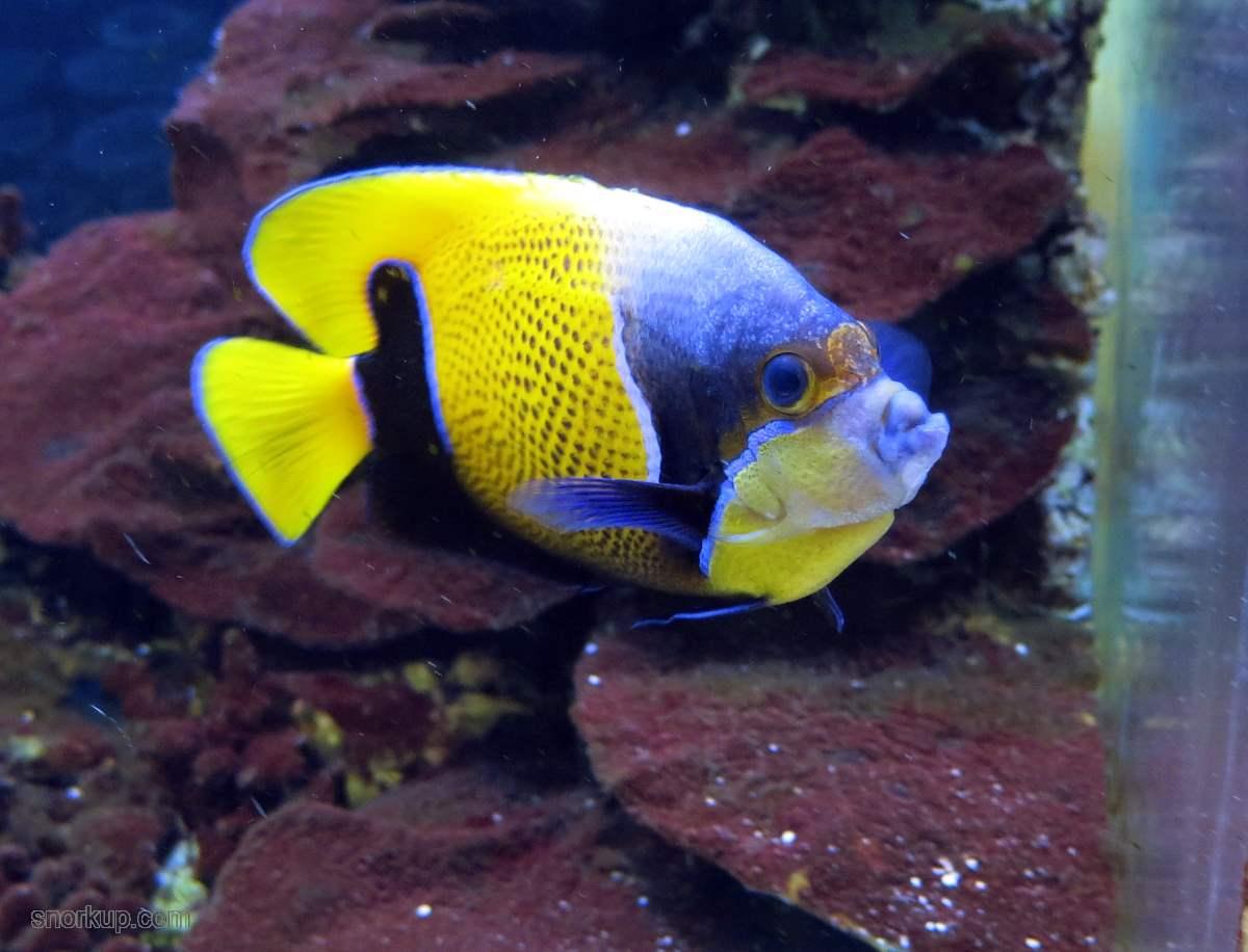 Оранжевый ангел - Pomacanthus (Euxiphipops) navarchus - Majestic angelfish